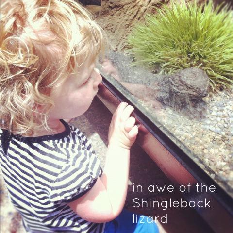 shingleback lizard {An Everyday Story}