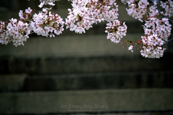 Cherry blossoms - Japan - An Everyday Story